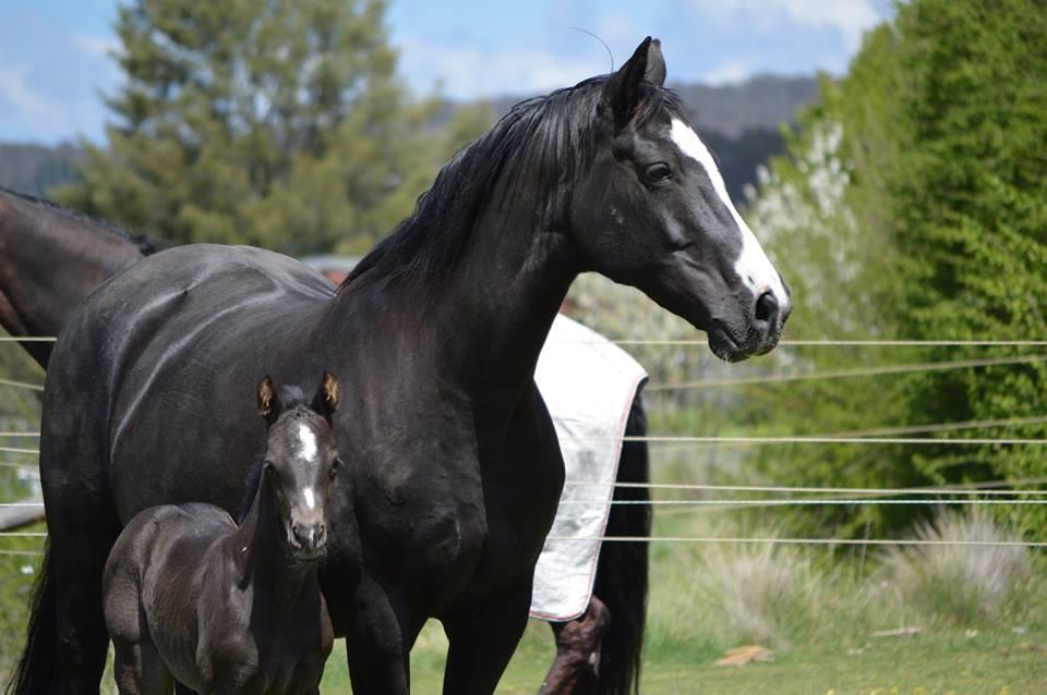breeding at Callum Park Equestrian