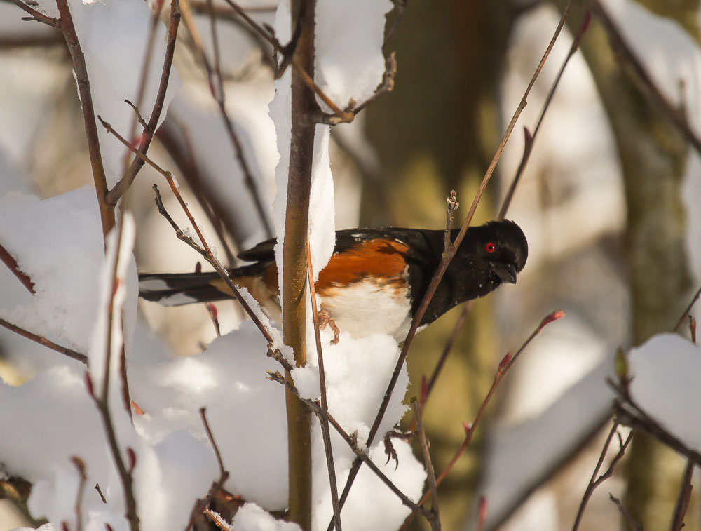 Yes, the exact Rufous Sided Towhee I had been hanging out with and photographing as the stranger approached. Photo Credit: Tanya Pluth.