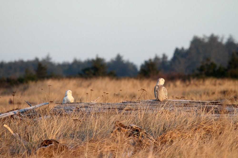 Two owls watching the sunrise. Tanya Pluth photo.