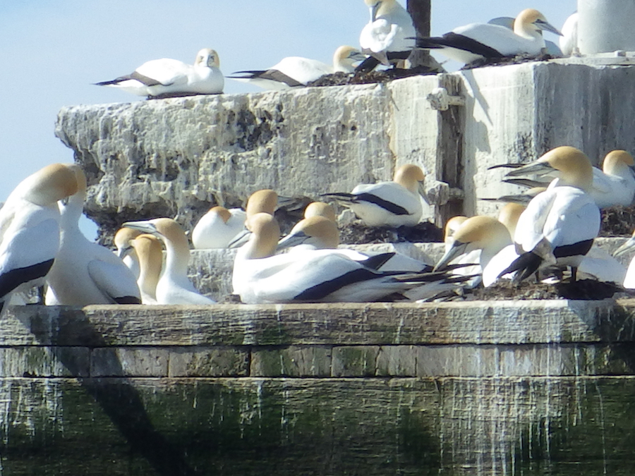 Gannet Colony - Pope's Eye