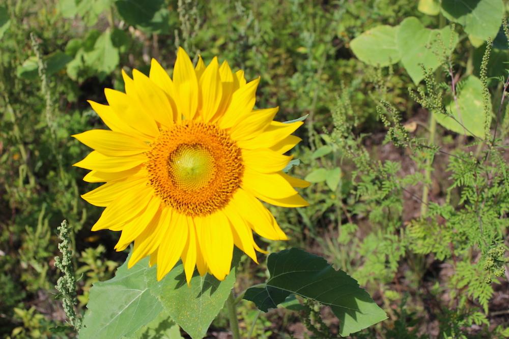 Tara's sunny sunflower IMG_1608.JPG