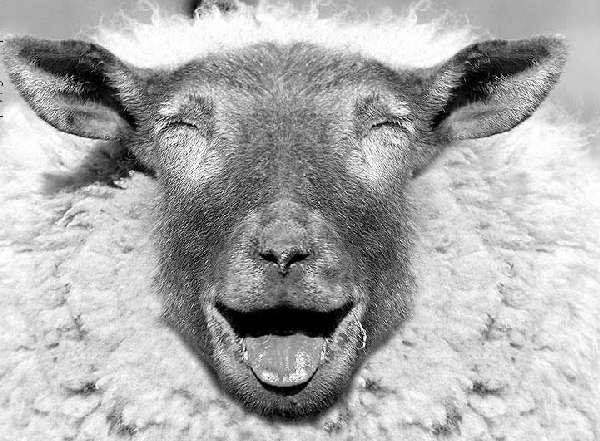 Top Ten Facts why Sheepskins make you happy — BURROW & HIDE Sheep Skins on dry sheep equivalent,