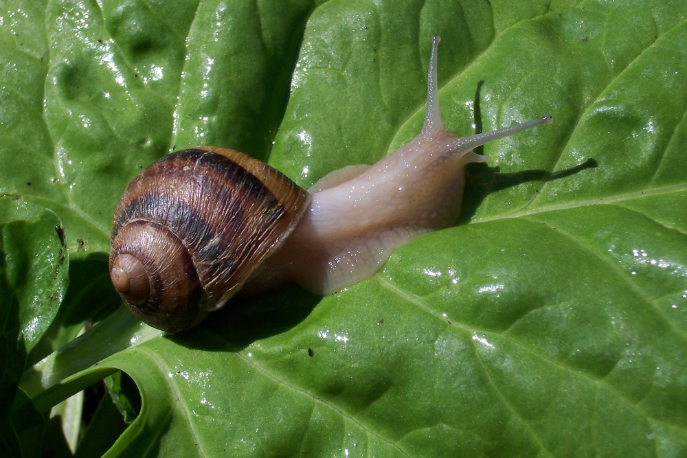 allotment snail 019.jpg