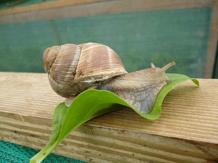 my Roman snail