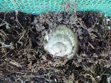 Roman snail digging2
