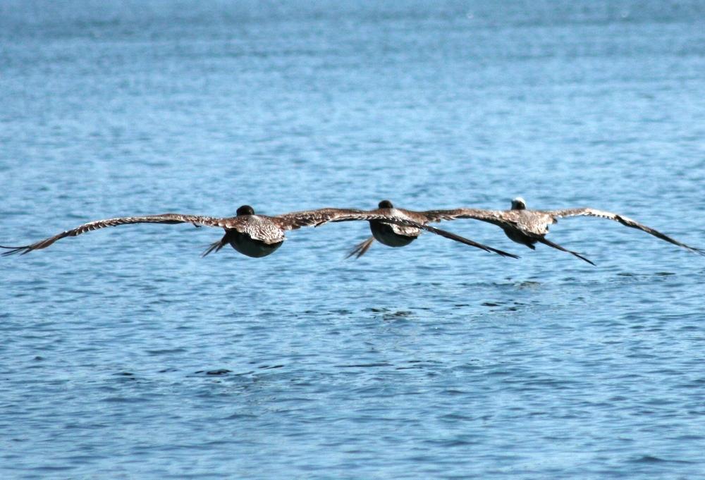 Brown Pelicans, Arcata, CA