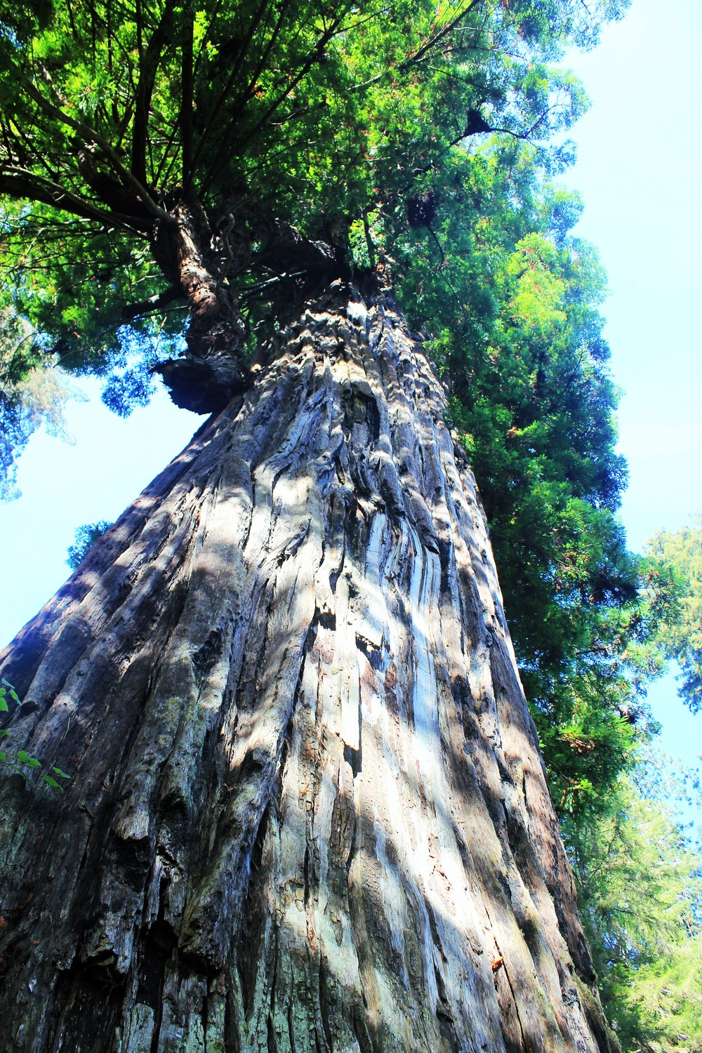 Big Tree, Redwoods, CA