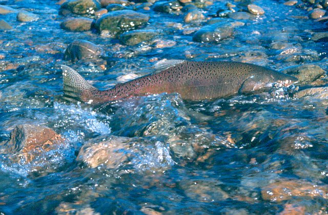 Salmon_California Department of Fish and Wildlife.jpg