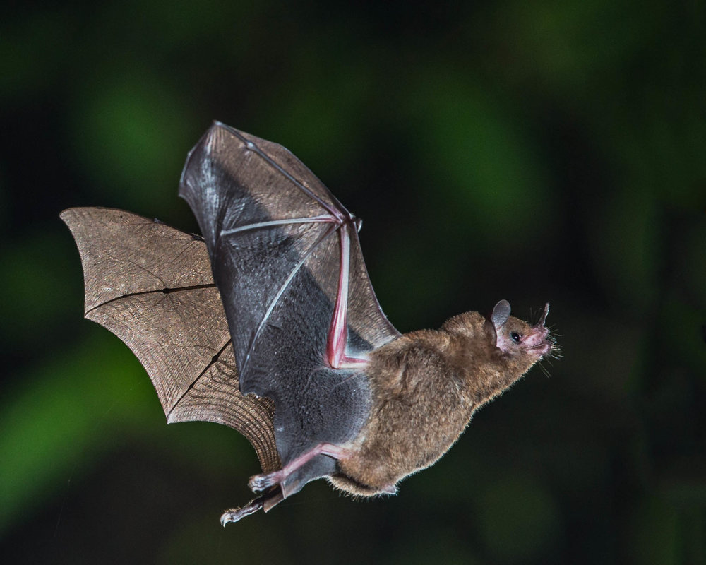 Short-tailed fruit bat. Photo by Andy Morffew