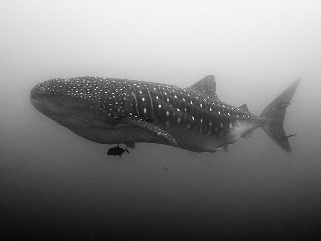 Whale Shark Vlad Karpinkskiy @Creative Commons