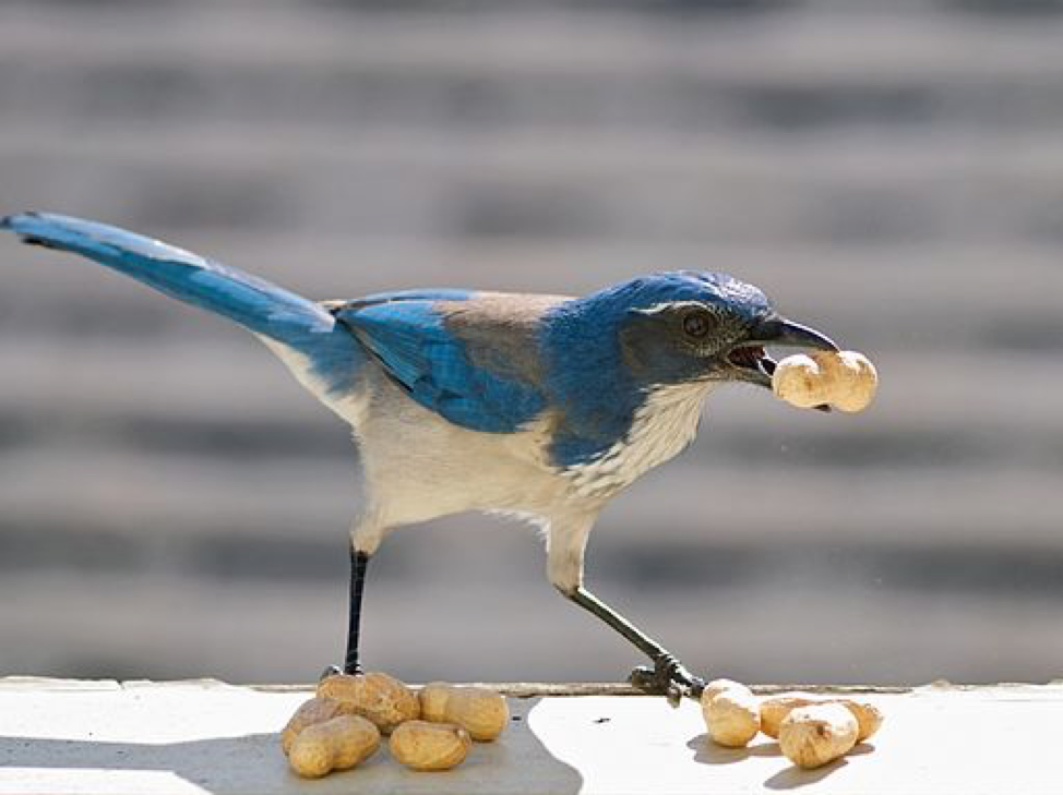 Source: By Ingrid Taylor, San Francisco, CA (Western Scrub Jay) [CC BY 2.0 (https://creativecommons.org/licenses/by/w.0)]