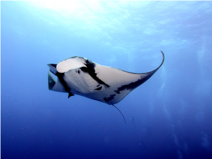 Figure 6 Manta Ray Photo by Swanson Chan on Unsplash