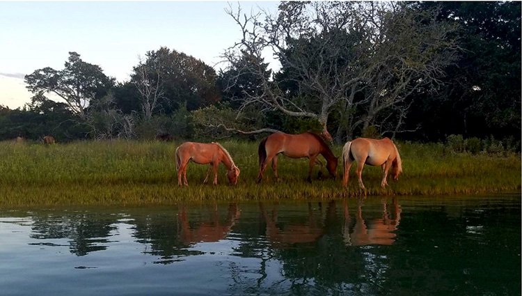 Wild horses of Carrot Island in the Rachel Carson Reserve, North Carolina