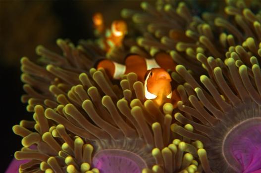 Figure 5 Clownfish in 'its' anemone, by Sebastian Pena Lambarri via Unsplash.com