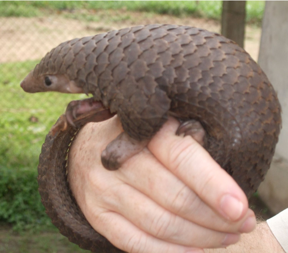 Figure 3  CRITICALLY ENDANGERED TREE PANGOLIN  BY VALERIUS TYGART (CC BY-SA 3.0)