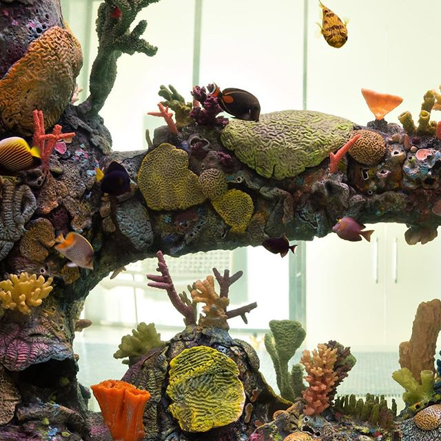 A lover of the underworld commissioned us to create a highly detailed replica of an Indo Pacific Tropical Reef habitat. While the coral is fabricated, the animals stil trive and have reproduced!. This is a home to Tang, Eels, French Angels. A living painting. ⠀  #aquaticlife #aquarium #contemporaryaquaticlife #contemporaryaquarium #aquaticdesigners #aquaticdesign #saltwateraquariumsofinstagram #exhibitdesign #sustainablecoralreef #luckyresidentsofchicago #natureinarchitecture #indopacificsea ⠀