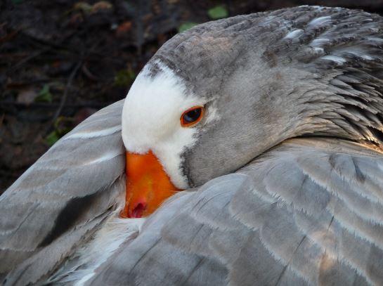 geese resting.JPG
