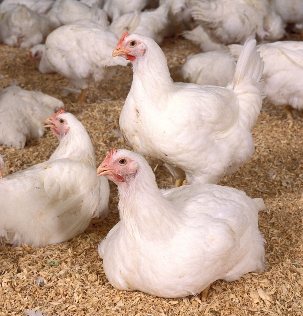 Common Poultry Diseases - This module contains information on poultry diseases and and disease prevention that every Blood Tester should know about.