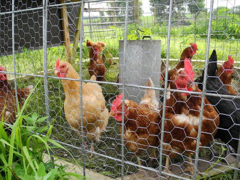 Hens caged.jpg