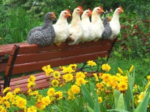 spring chickens.jpg