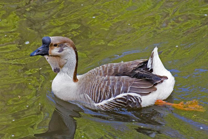 african goose.jpg