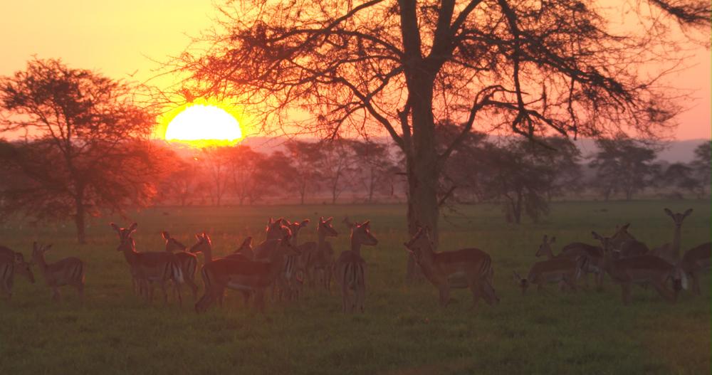 Impala sunset.jpg