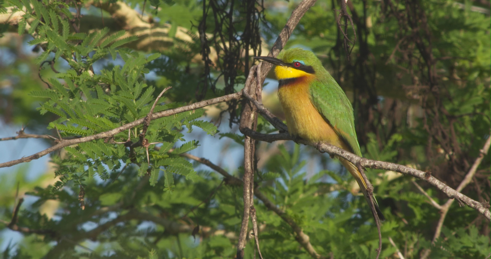 little bee eater.jpg