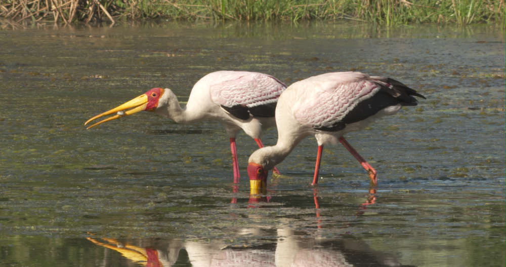 Yellow bill storks.jpg