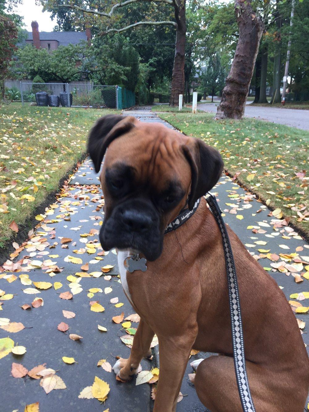 Boxer dog
