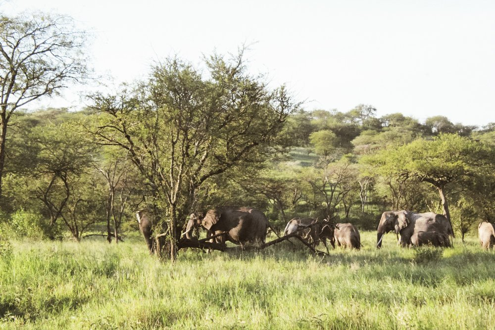 You can smell elephants before you see them. This herd was pretty large, and the older elephants were keeping the babies in check. Some of them walked right behind our truck!