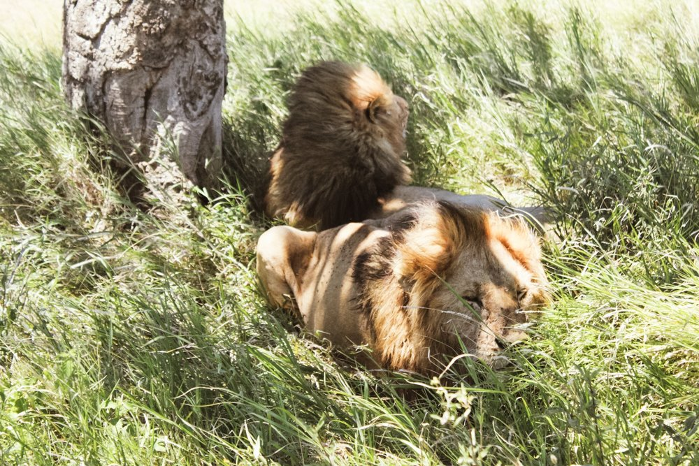 The lions were very full and sleepy.