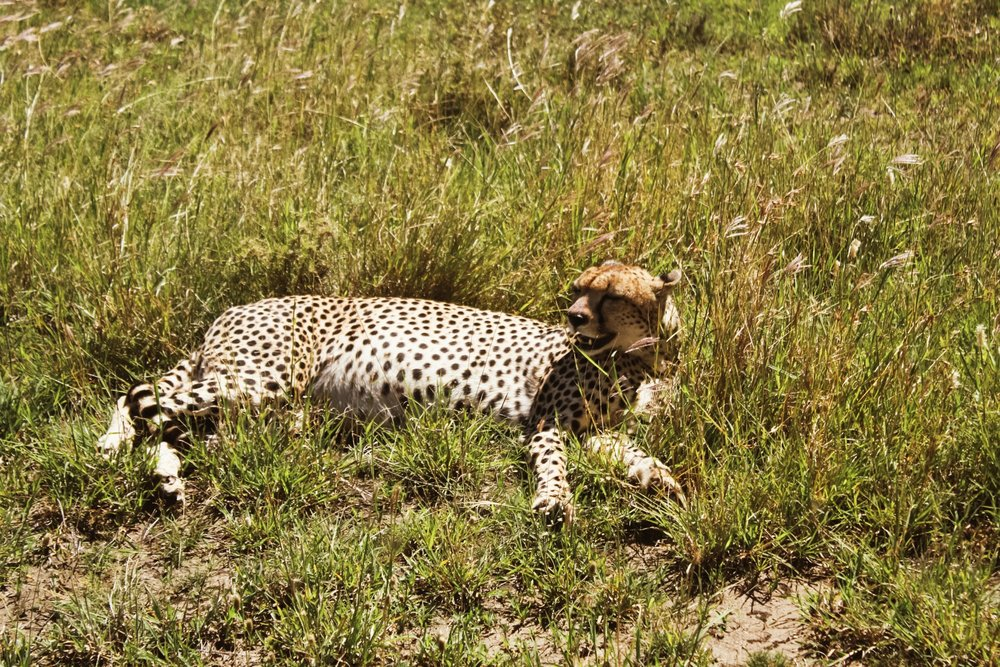Well-fed cheetah. Our guide told us that the cheetah like to jump up on the trucks to get a better look at prey. One of the people we met at the lodge had this happen to him, and he had the pictures to prove it. We were not that lucky, but it was still pretty cool to be this close.