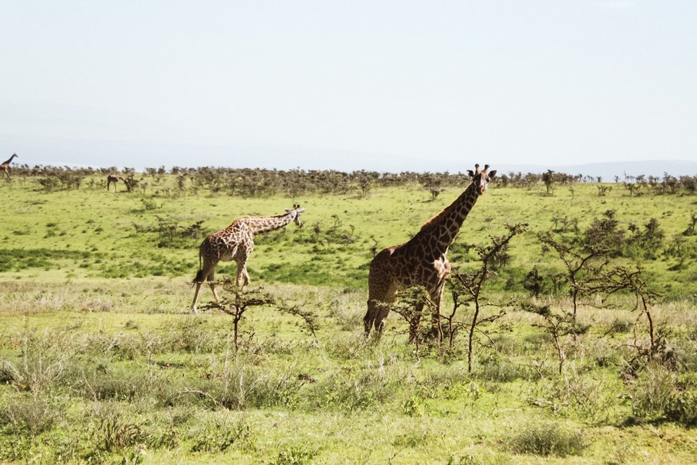 Can we just agree that giraffes are super weird looking? They a bit like really tall cows - we would just come upon them, chewing on leaves and grass, completely unfazed that we had pulled up to stare.