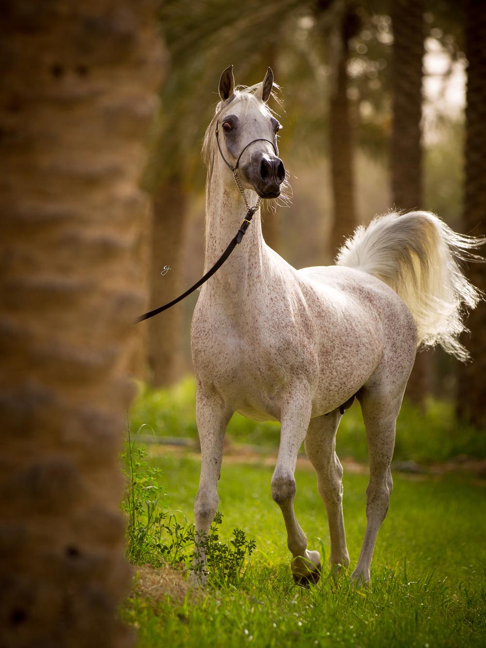 Remal Al Nasser (Ashhal Al Rayyan x Aliah Al Nasser by Imperial Mahzeer)