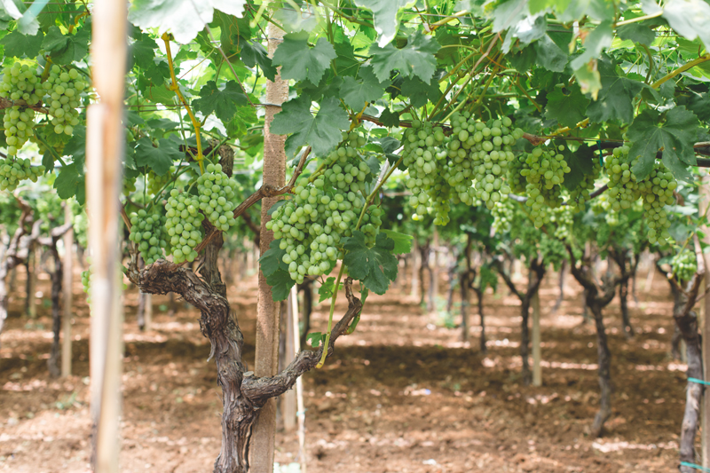 Schiena Vini Italian Vineyards - hanging grapes