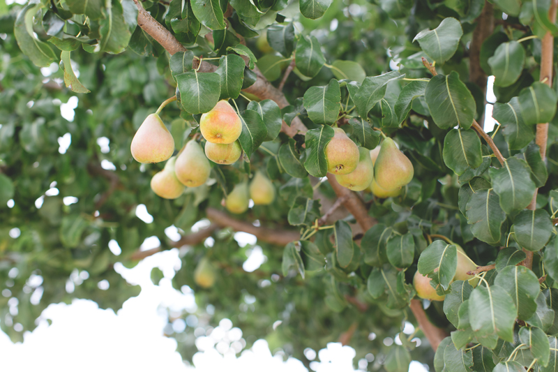 Schiena Vini Italian Vineyards - pears on tree