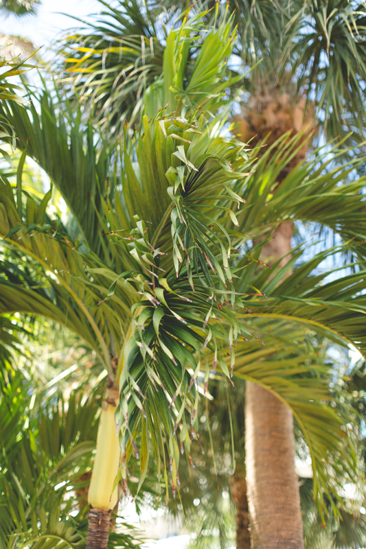 Palm Trees - Tradewinds Island Grand Resort beach wedding - st pete beach - Jaime DiOrio Photography - Destination Orlando wedding photographer -  palm trees at wedding venue.JPG