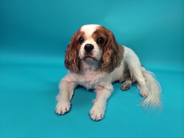 Trimnasium dog grooming santa barbara goletatrimnasium toby is a sweet cavalier king charles who loves to be treated like royalty when she solutioingenieria Gallery