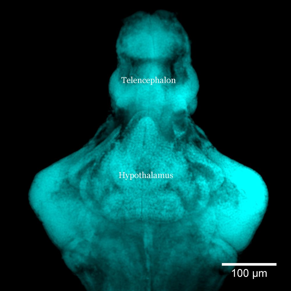 1 week old zebrafish brain (DAPI staining)