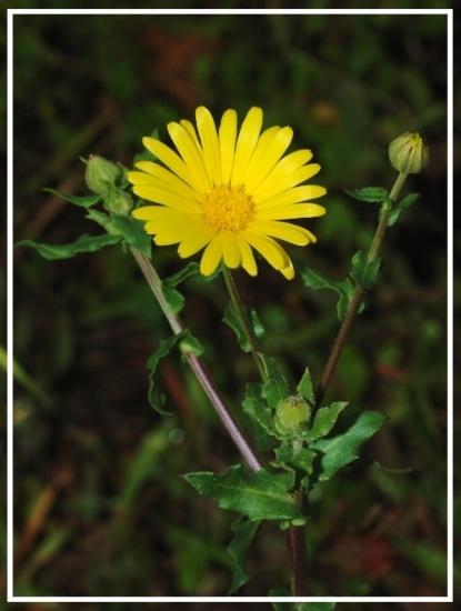 Featured herb profile: Calendula Flower Calendula officinalis