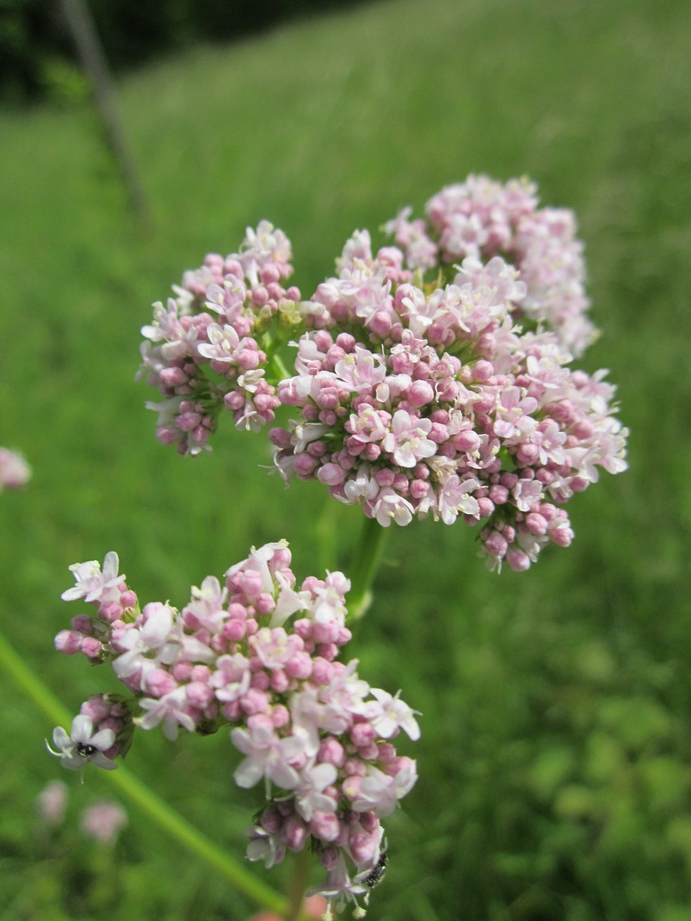 A nice synopsis of the Valerian plant - http://www.herbwisdom.com/herb-valerian.html