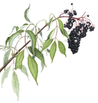 elderberry_sambucus_nigra_terra_luna_CSA.jpg