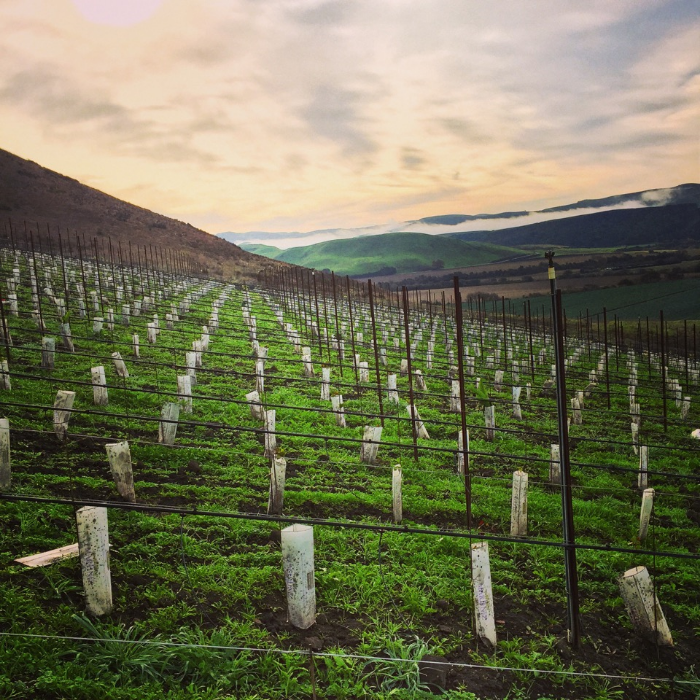 Newly planted Pinot Noir vines at The Joy Fantastic vineyard, winter 2014