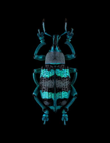 270315_10_amica_beetle_3.jpg