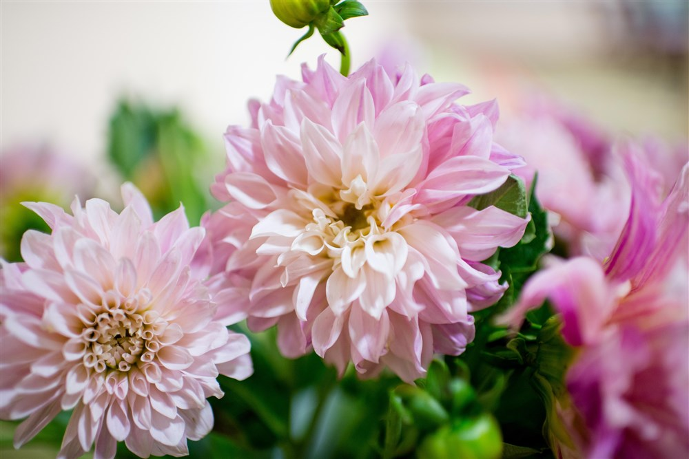 cafe-au-lait-dahlias