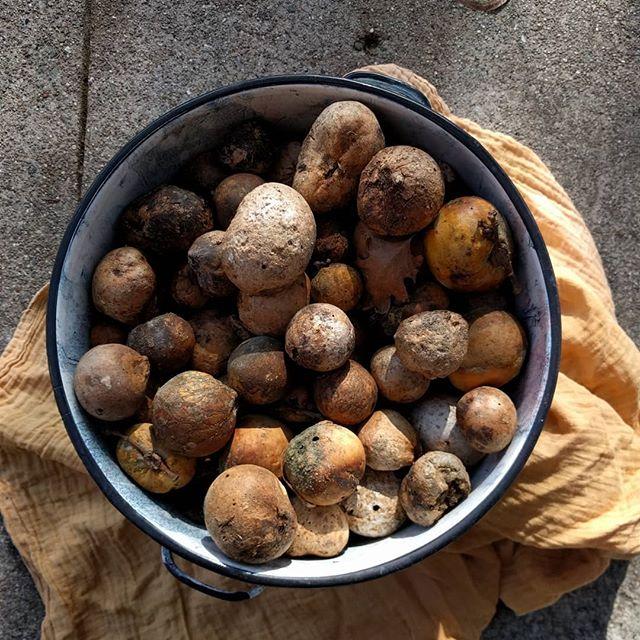 Cazadero oak galls headed toward tannin