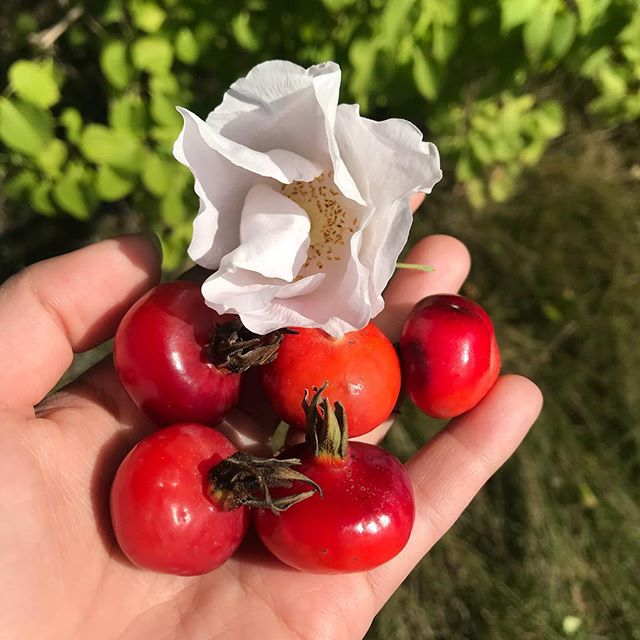Rose and rose hips on the plant at the same time, the transition from summer to fall. I'll use the rose hips in tea, they are high in vitamin c. I like using them in a blend with spruce tips in the winter #maine #forage #nospray