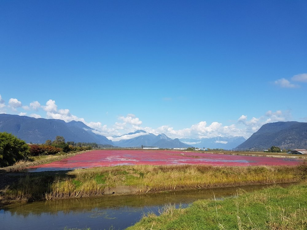 Cranberry fields during our one day bike and hike tour at Pitt Meadows