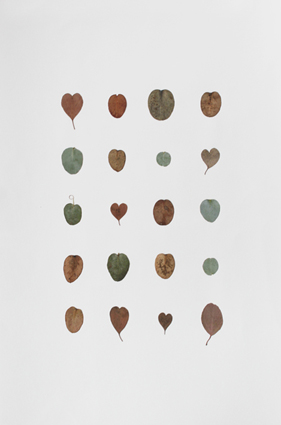 Dye Diary (plant drawings), 2012. Pressed eucalyptus cinerea leaves on paper. 56 x 38 cm