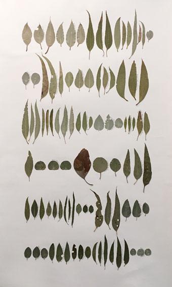 Eucalyptus Leaf Drawing 1